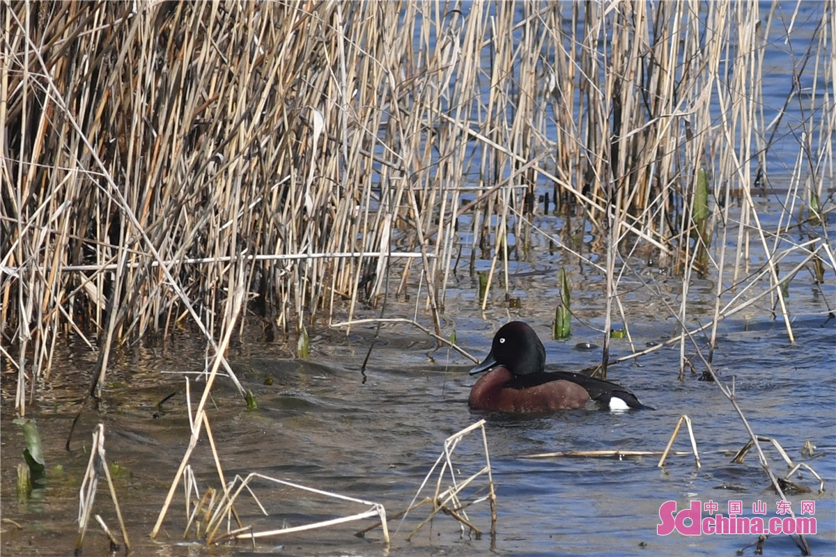 Experts have confirmed two critically endangered pochards spotted by volunteers from the Wildlife Conservation Association in Chengyang district of Qingdao, Shandong province, during a spring inspection before World Wildlife Day, which falls on March 3. This is the third year in a row that the pochards have been spotted in the area. In recent years, local wildlife conservation volunteers have protected the habitats of migratory birds and expanded the living space for wild birds by publicizing bird-loving and bird-protecting activities, releasing and rescuing birds, and clearing clapnets in the estuarine wetland. (Wang Haibin)<br/>