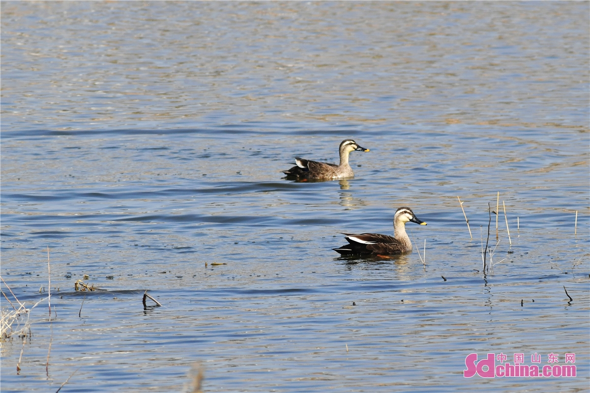Experts have confirmed that two critically endangered pochards spotted by volunteers from the Wildlife Conservation Association in Chengyang district of Qingdao, Shandong province, during a spring inspection before World Wildlife Day, which falls on March 3. This is the third year in a row that the pochards have been spotted in the area. In recent years, local wildlife conservation volunteers have protected the habitats of migratory birds and expanded the living space for wild birds by publicizing bird-loving and bird-protecting activities, releasing and rescuing birds, and clearing clapnets in estuarine wetlands. (Photo by Wang Haibin)