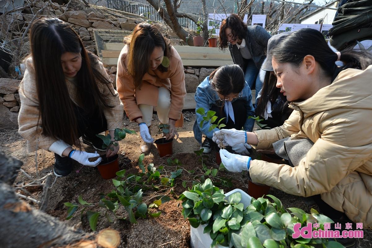 3月8日,青岛市城阳区人大机关的巾帼志愿者种植青岛市花耐冬和崂山百合。