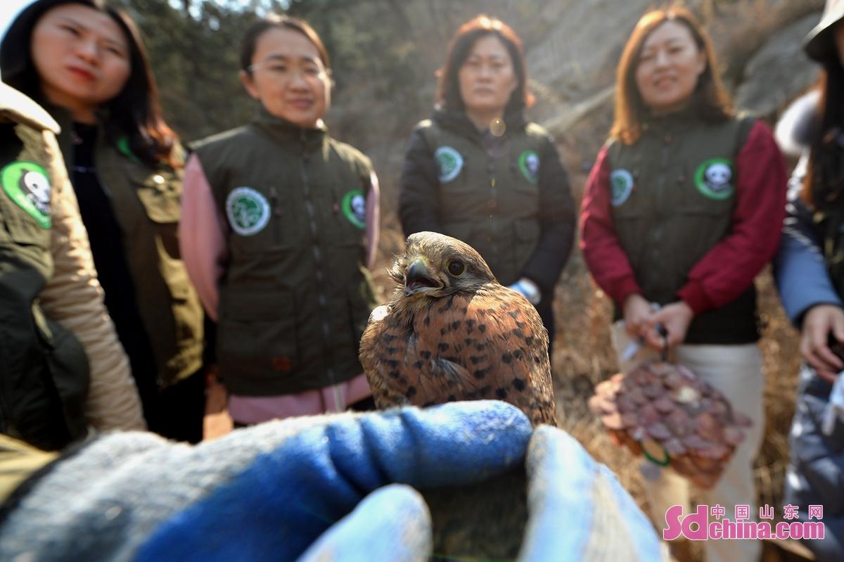 3月8日,青岛市城阳区人大机关的巾帼志愿者了解救助的猛禽红隼。<br/>