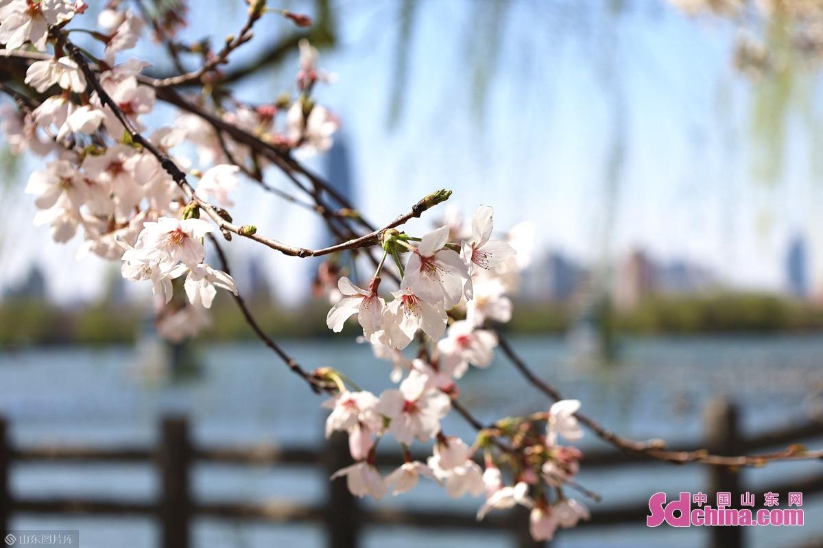 <br/>  &ldquo;樱桃千万枝,照耀如雪天。&rdquo;(唐&middot;刘禹锡《和乐天宴李周美中丞宅池上赏樱桃花》)大明湖北岸北极阁附近,早樱已进入末花期,雪白的花瓣在微风中悠然飘落。早樱花先叶出,成簇开放,花瓣尖有缺口,枝干上有一圈圈横纹。<br/>
