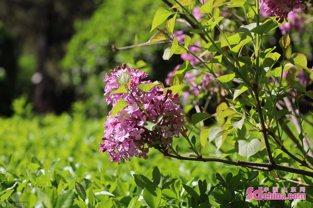 <br/>  丁香学名紫丁香,因花筒细长如钉且香故名,又称华北紫丁香、百结、情客等。<br/>