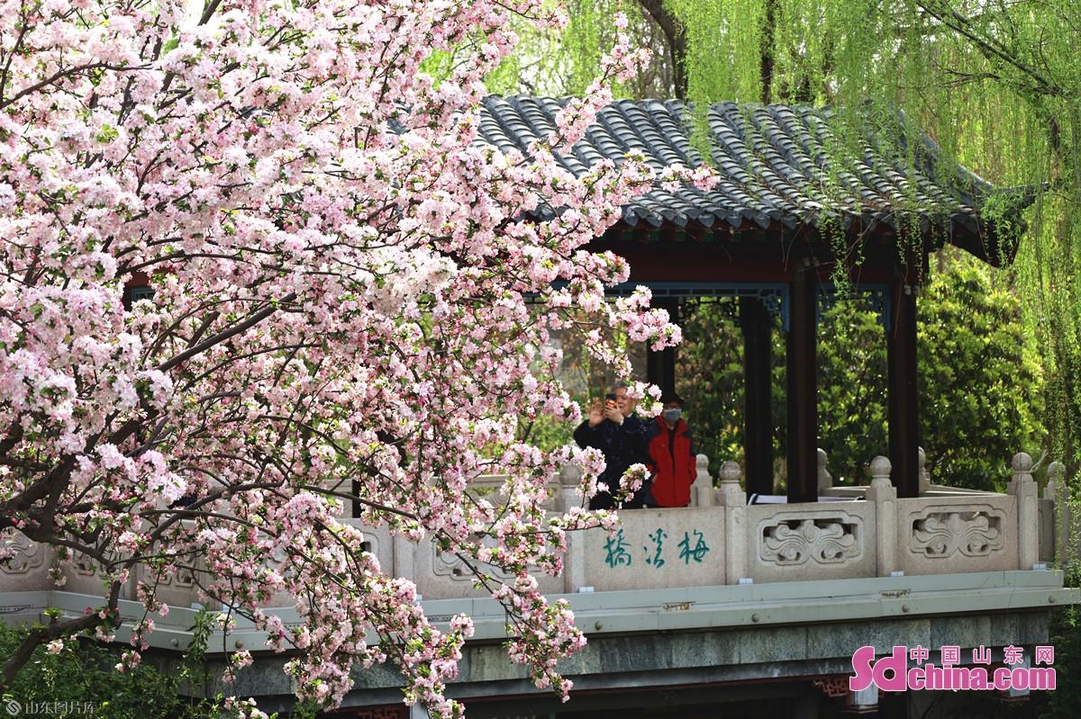 <br/>  大明湖南岸梅溪桥畔,海棠花渐近末花期。