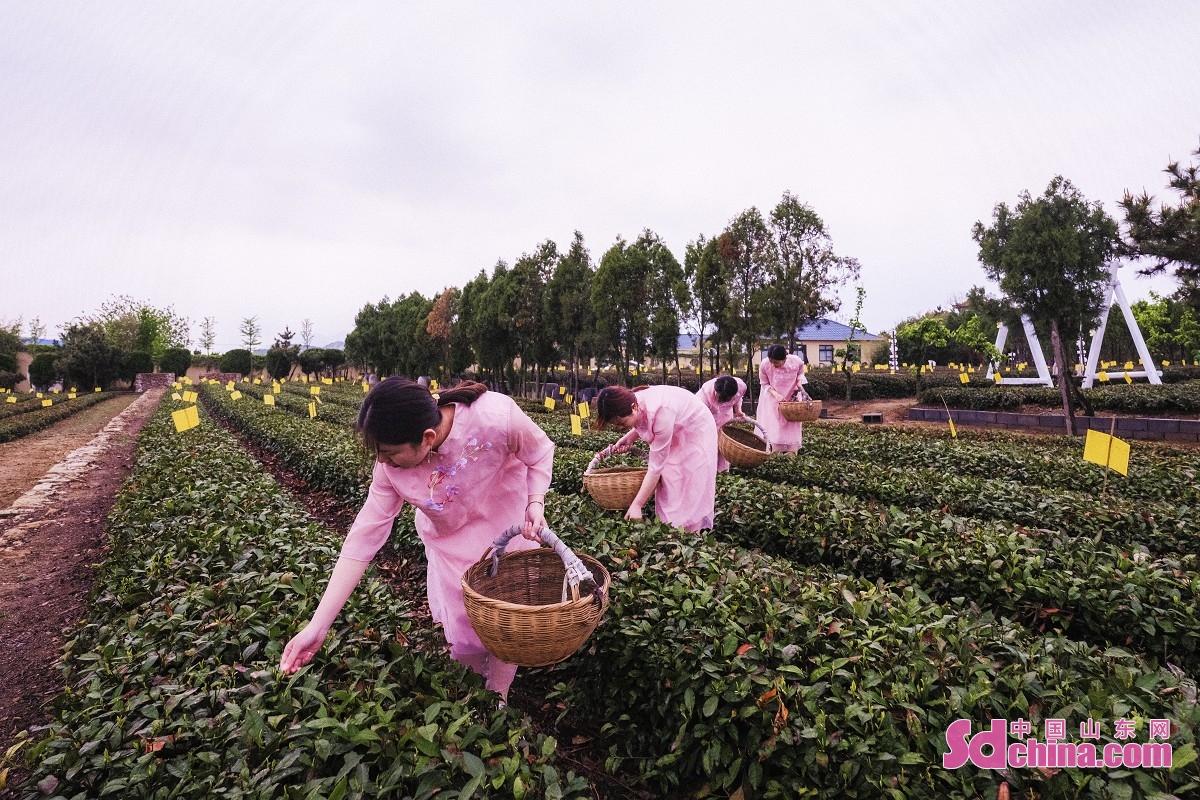 <br/>  采茶女在日照市云过山丘茶旅文创园内的茶园内采茶。<br/>