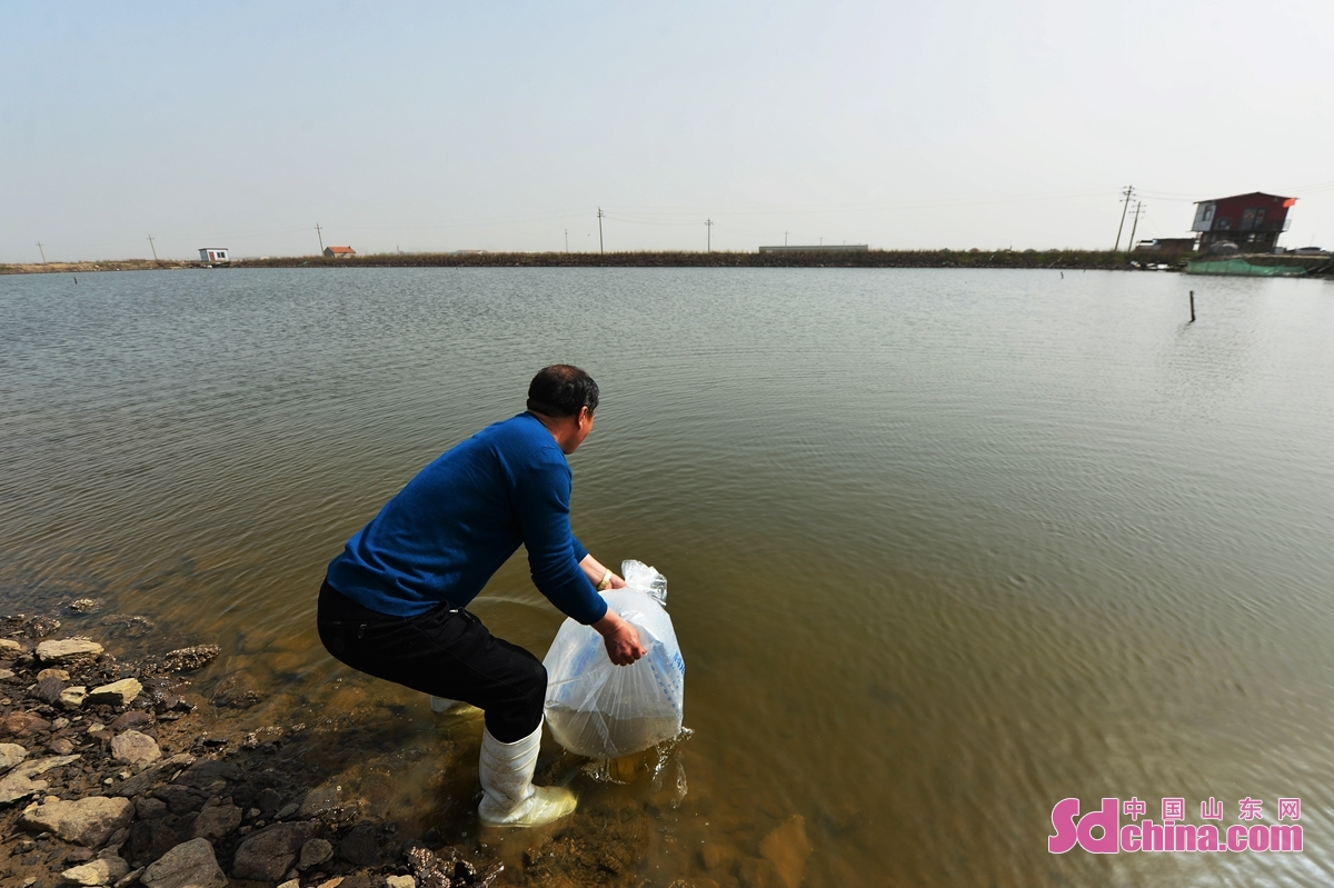 <br/>  养殖户在青岛市城阳区河套街道一处海产养殖区进行卤水对虾种苗投放作业。<br/>