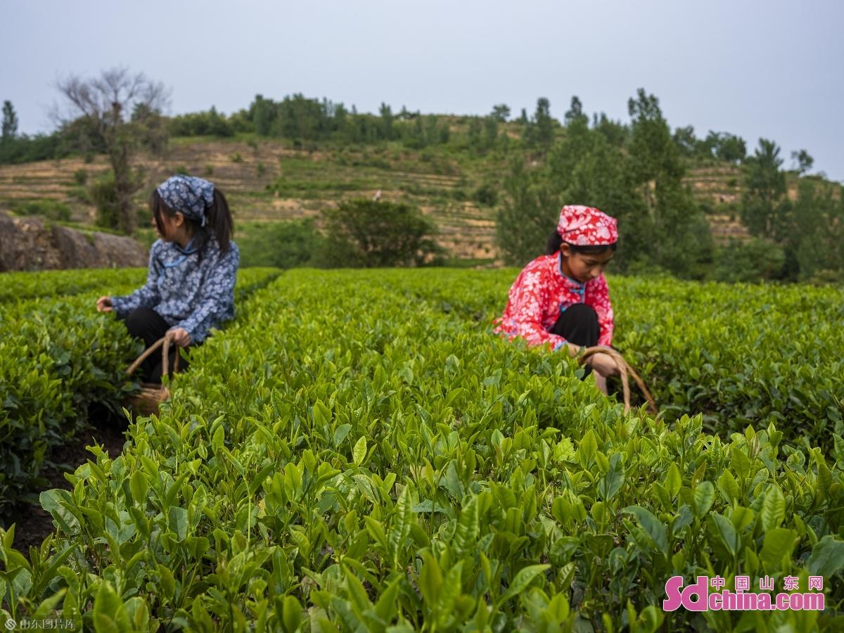 <br/>  日照是世界茶学界公认的三大海绿茶城市之一,日照绿茶被誉为&ldquo;中国绿茶新贵&rdquo;,并素称&ldquo;北方第一茶&rdquo;。该市现有茶园面积29.3万亩,年产干毛茶1.81万吨,分别占山东省70%和75%以上,是中国北方最大的绿茶生产基地。
