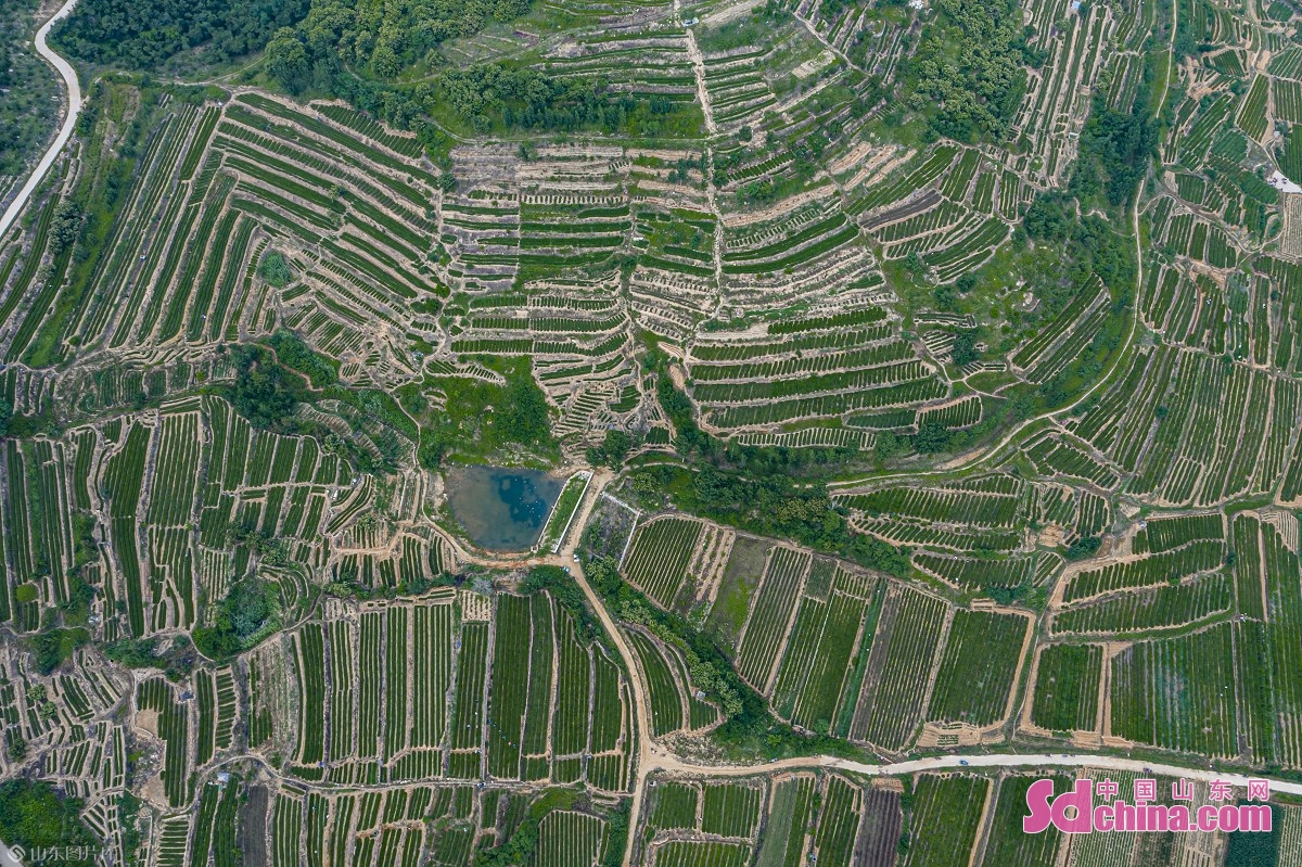 <br/>  山东省日照市东港区的山区地形为绿茶种植提供了得天独厚的自然条件。<br/>