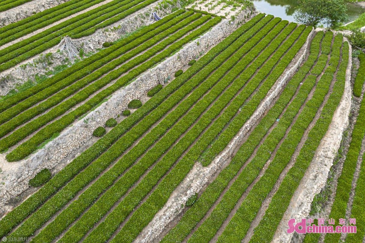 <br/>  图为山东省日照市东港区的山区茶园。<br/>