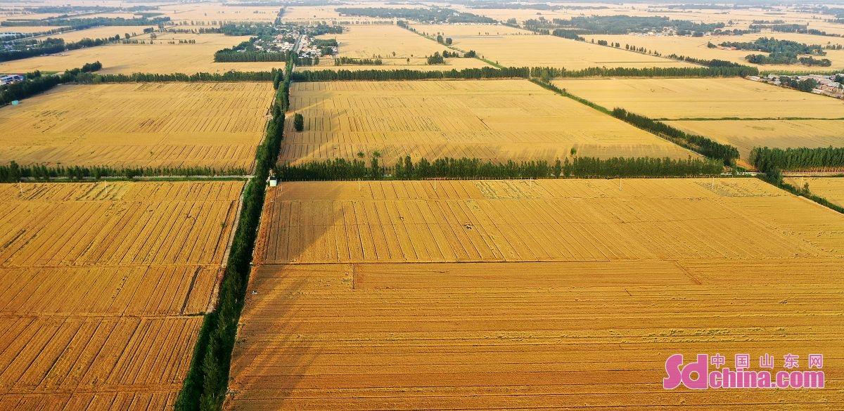 <br/>  聊城市茌平区马颊河两岸金黄色的麦田<br/>