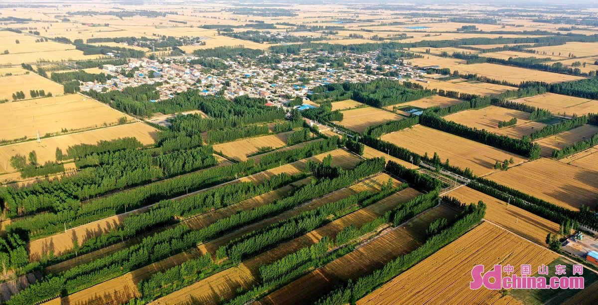 <br/>  聊城市茌平区马颊河两岸金黄色的麦田