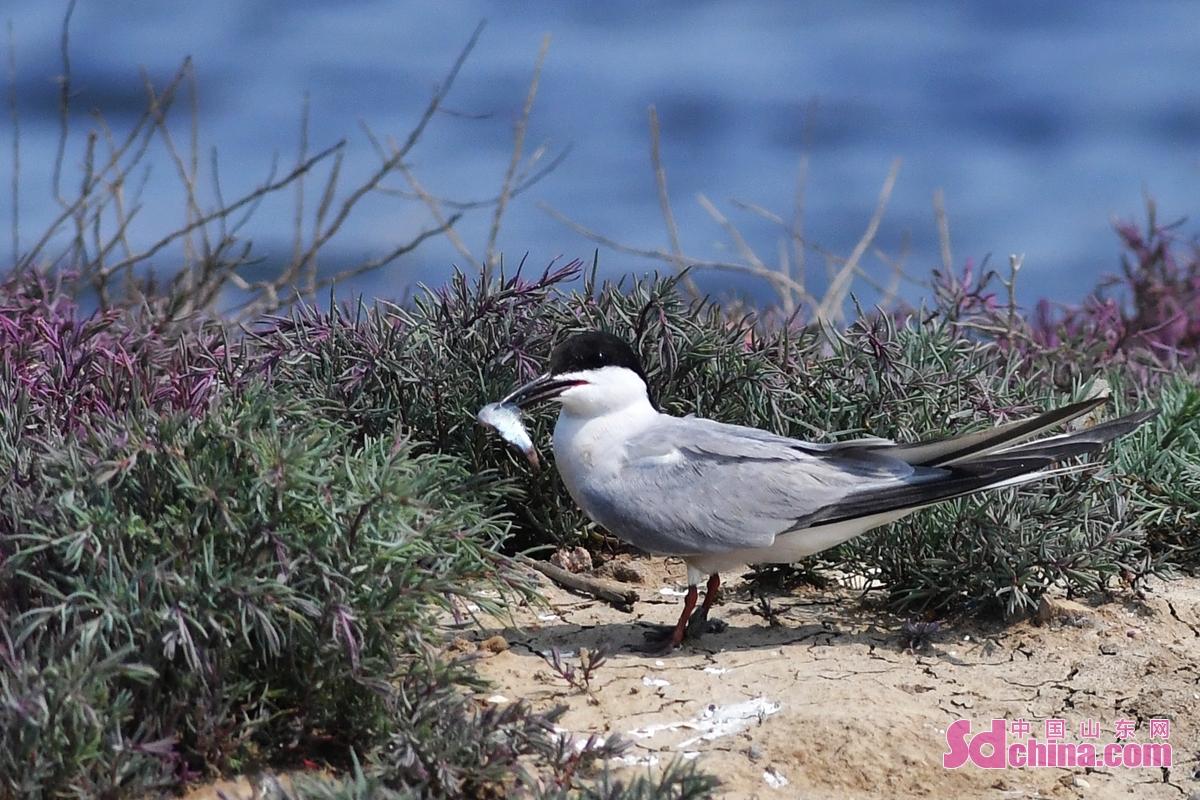 <br/>  在青岛市城阳区红岛街道的一处滩涂上,一只燕鸥叼着小鱼赶回喂养幼鸟。<br/>
