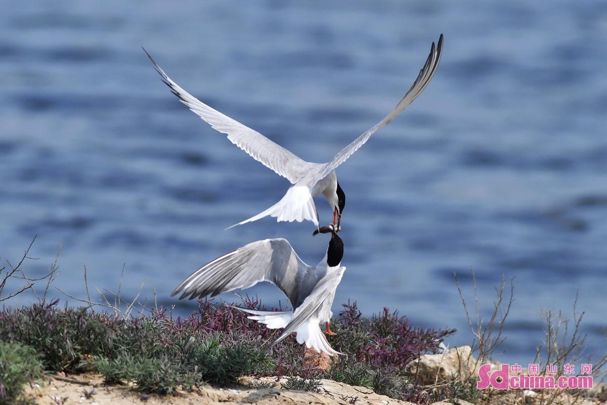 <br/>  盛夏时节,位于青岛市城阳区红岛街道的一处滩涂上燕鸥穿梭,鸟声悦耳,孵化、捕鱼育雏忙。<br/>
