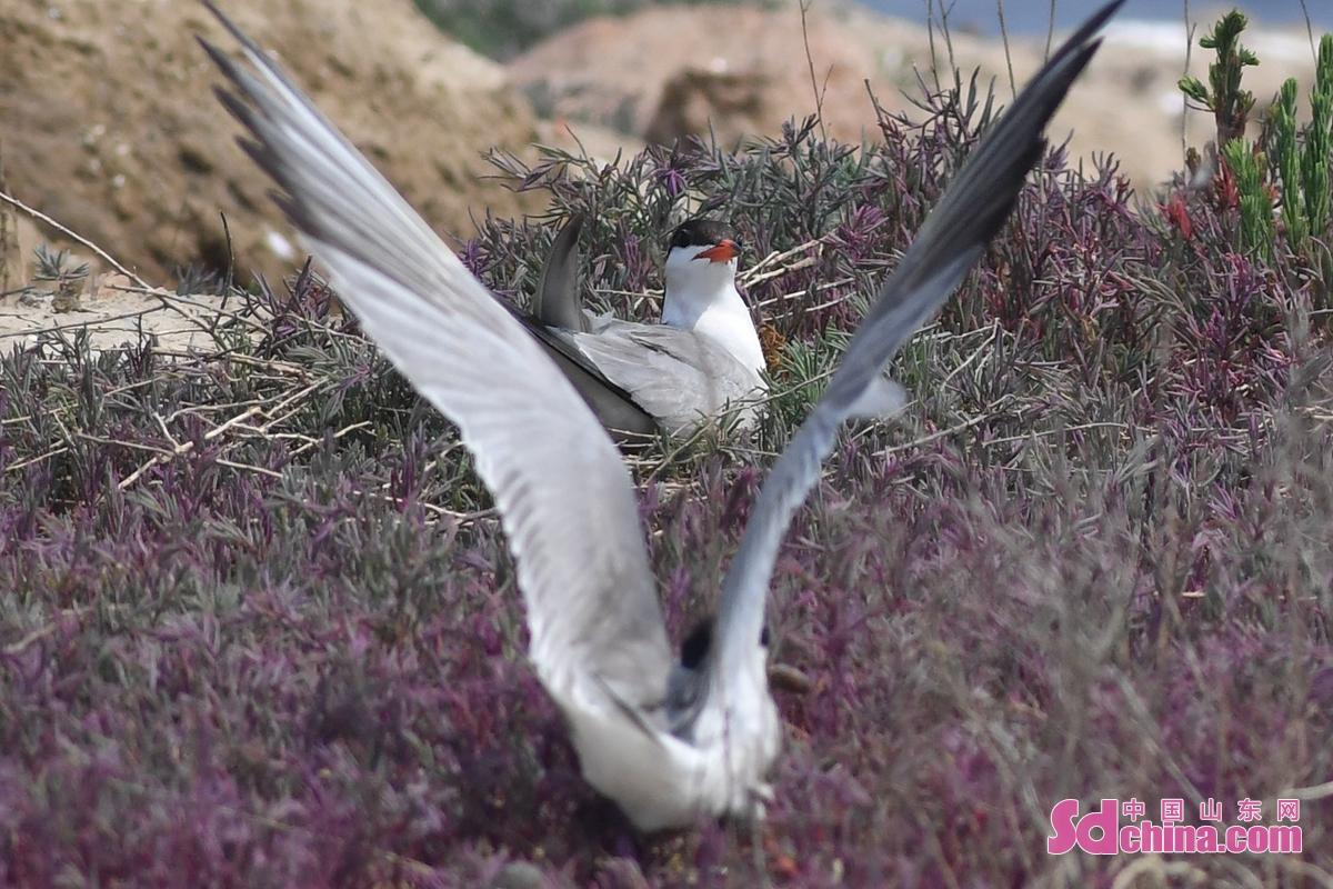 <br/>  一只燕鸥在青岛市城阳区红岛街道的一处滩涂上筑巢孵化。<br/>