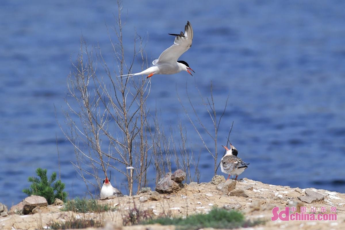 <br/>  两只燕鸥幼鸟在青岛市城阳区红岛街道的一处滩涂上等待进食。<br/>