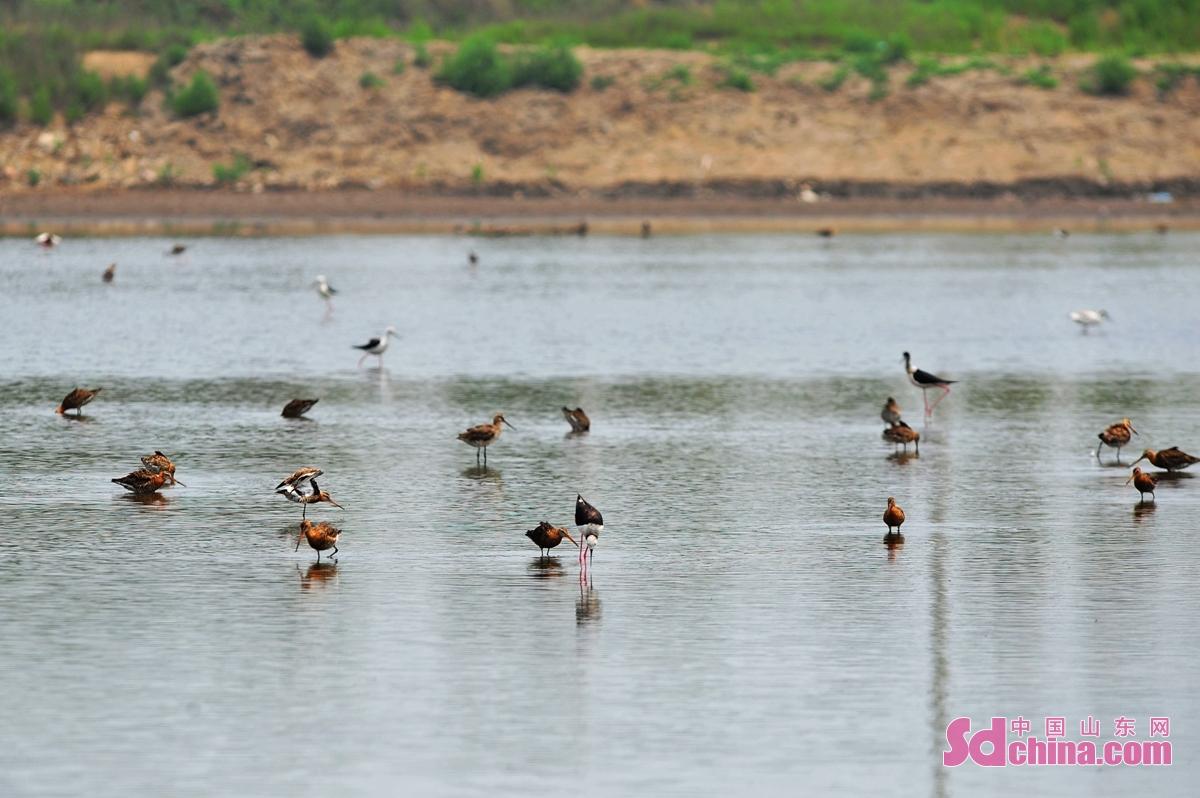 <br/>  在青岛市城阳区河套街道近海养殖区,各种鹬鸟在水中觅食。