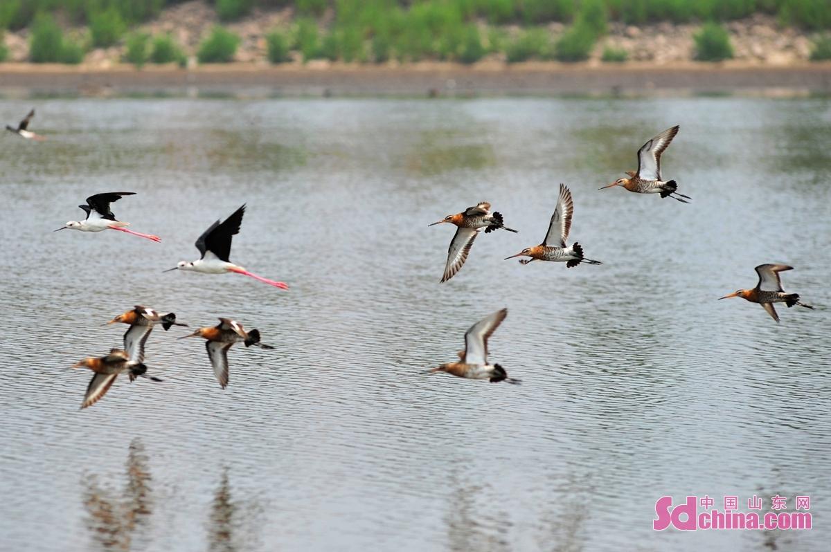 <br/>  近日,在山东省青岛市城阳区河套街道近海养殖区,黑尾塍鹬、鹤鹬、林鹬、翘嘴鹬、红脚鹬、反嘴鹬、黑翅长脚鹬等近十种鸻鹬类候鸟来青度夏。<br/>