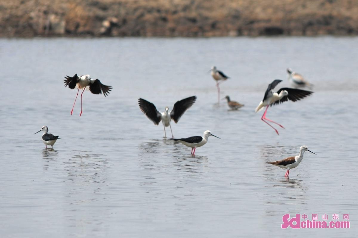 <br/>  在青岛市城阳区河套街道近海养殖区,有着&ldquo;长腿美娘子&rdquo;之称的黑翅长脚鹬在水中觅食。<br/>