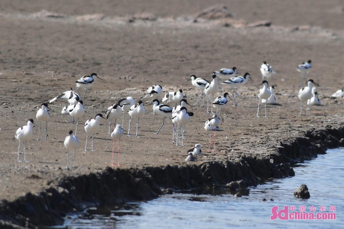 <br/>  成群反嘴鹬在青岛市城阳区河套街道的海产养殖区觅食栖息。