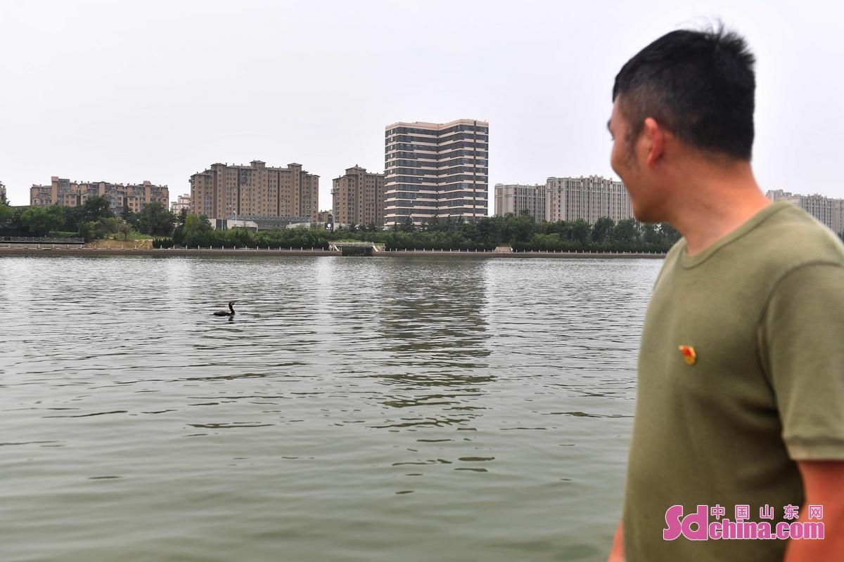 <br/>  在青岛市城阳区白沙河入海口湿地,放归的鸬鹚围绕志愿者的船只鸣叫靠近。<br/>