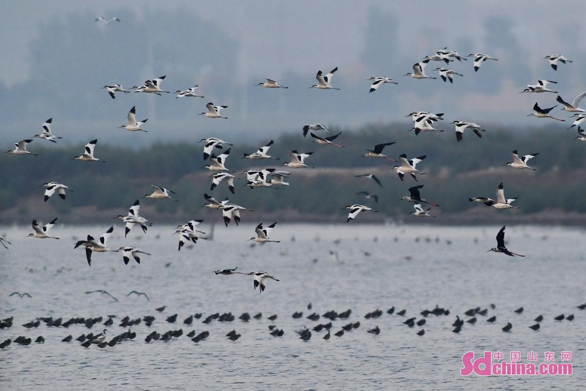 <br/>  成群反嘴鹬与鹤鹬在青岛市城阳区河套湿地相伴栖息<br/>