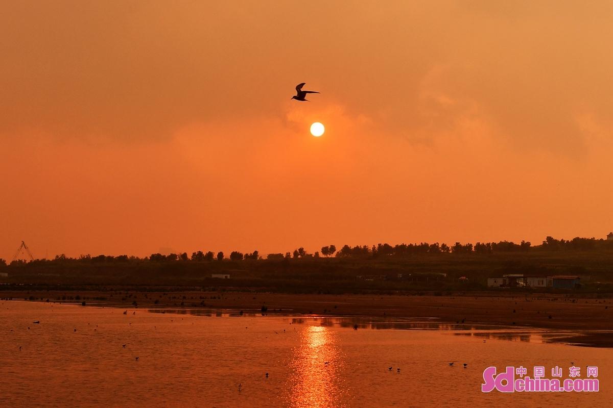 <br/>  一只燕鸥在青岛市城阳区河套湿地飞过夕阳
