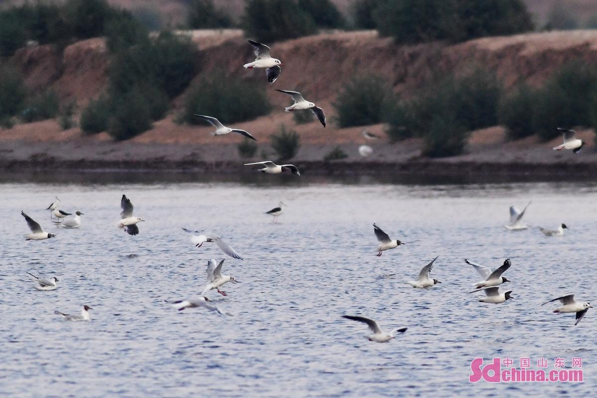 <br/>  近日迁回的红嘴鸥在青岛市城阳区河套湿地觅食,补充体能。<br/>