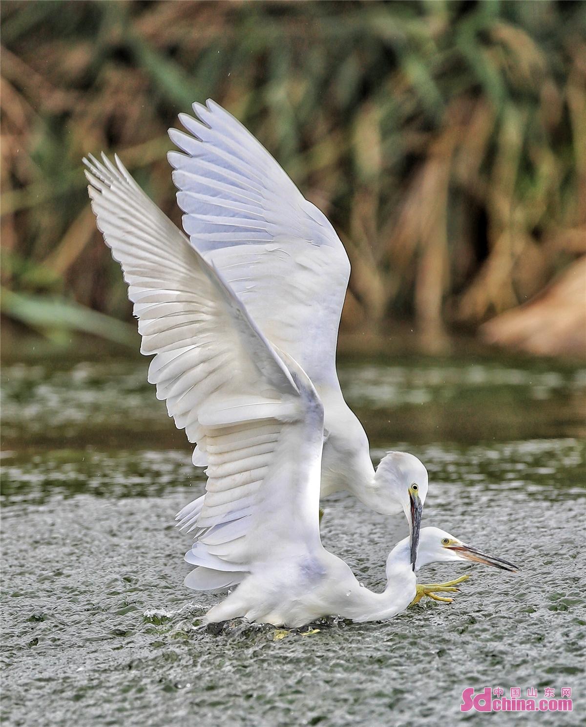 <br/>  최근 몇 년간 산동성 치박시 치천구 통합 관리를 지속 진행하여 하천의 자연환경을 개선되며 물이 맑아지고, 물고기 많아지고, 새를 찾아오고, 숲이 우거지는 모습이 들어낸다.