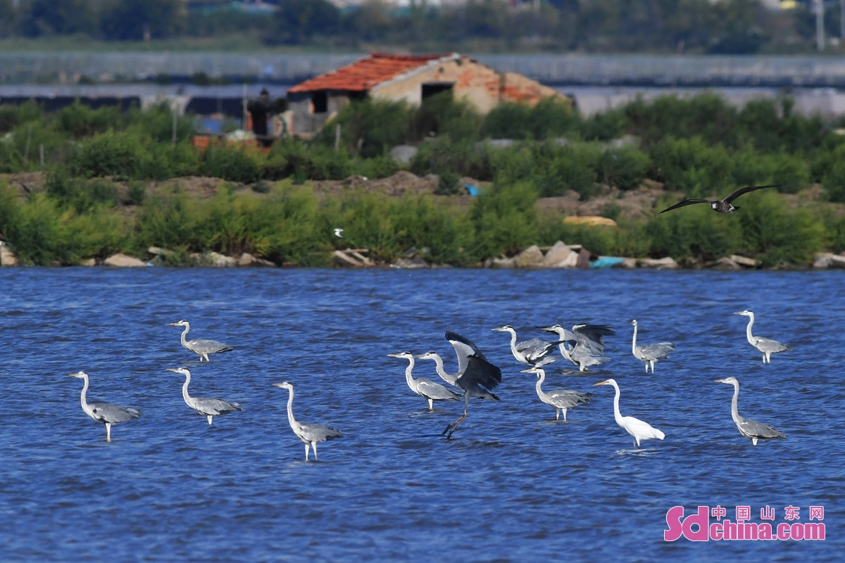 <br/>  在青岛市胶州湾海洋公园河套段,成群苍鹭在水中觅食。<br/>