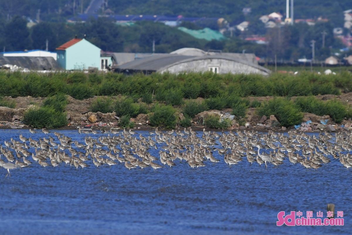 <br/>  在青岛市胶州湾海洋公园河套段,成群白腰杓鹬、黑尾塍鹬等水鸟在滩涂上栖息。<br/>
