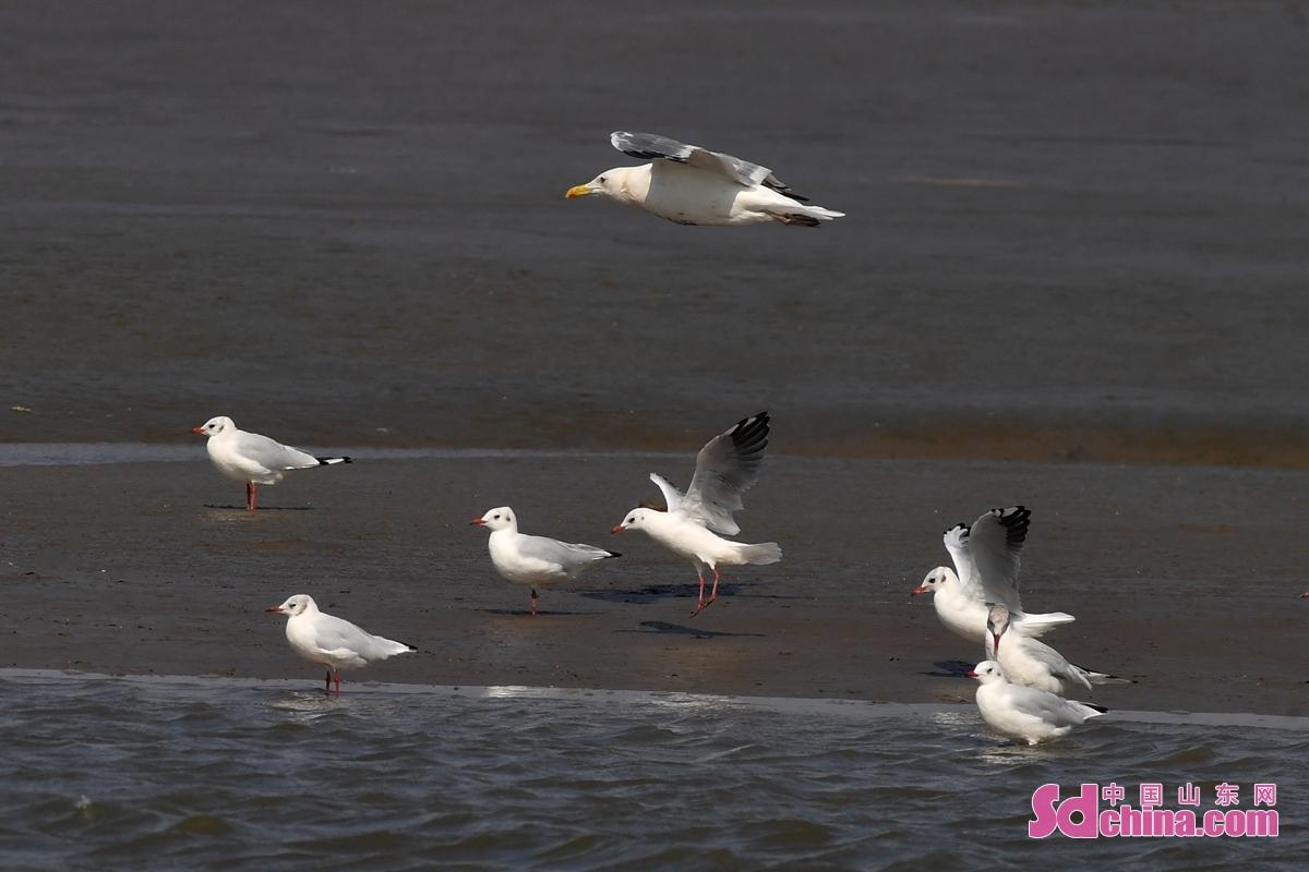 <br/>  在青岛市胶州湾海洋公园红岛段,银鸥和红嘴鸥在滩涂上觅食。<br/>