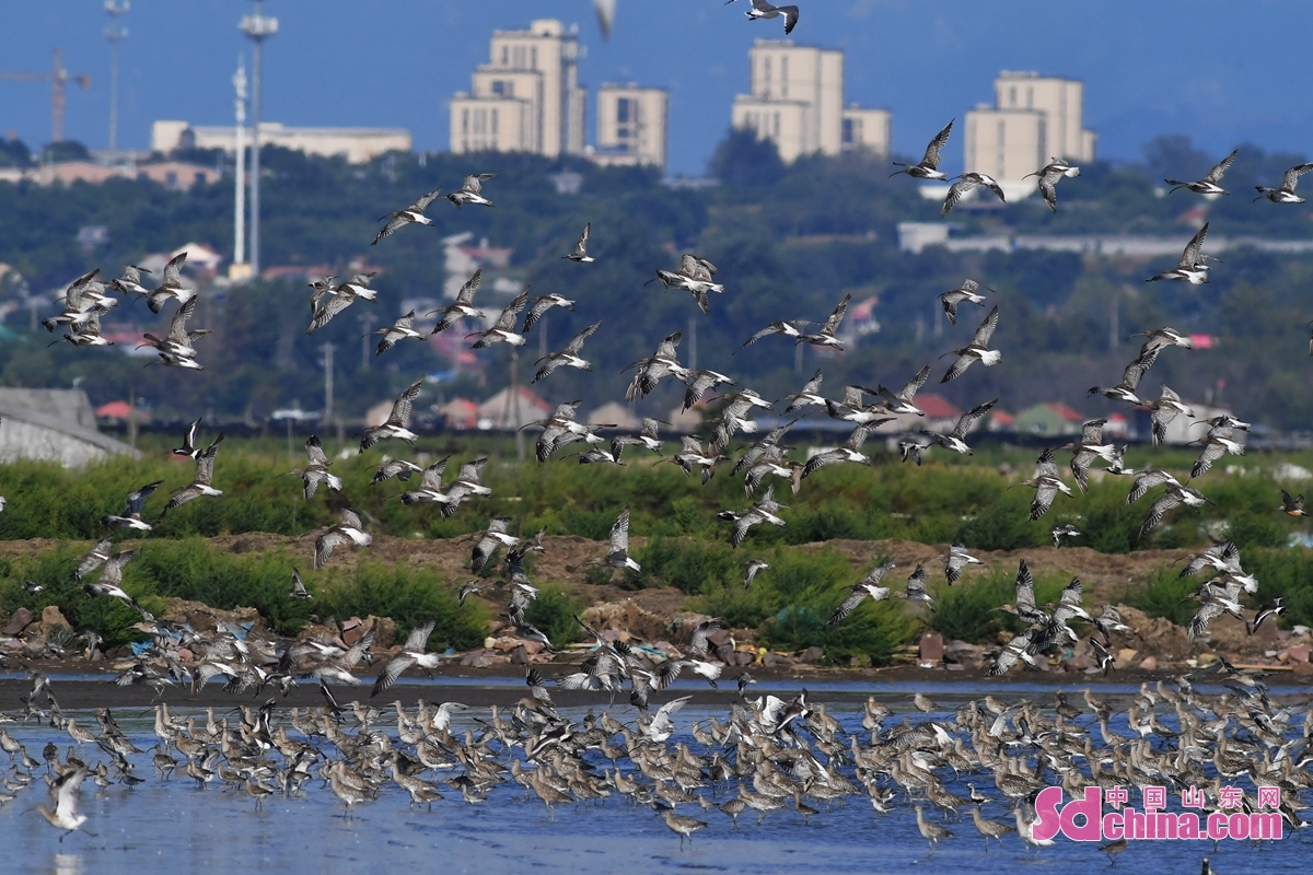 <br/>  在青岛市胶州湾海洋公园河套段,成群白腰杓鹬巡游滩涂。<br/>