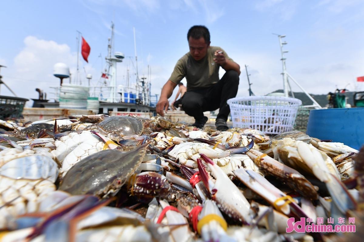 <br/>  渔民在青岛市崂山区中心渔港筛选到岸的螃蟹<br/>