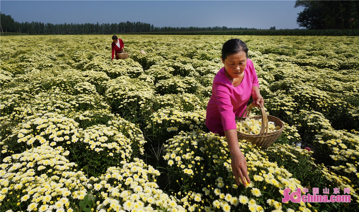 Farmers in Sun Town, Zouping City, East China's Shandong Province, greet the harvest season of chrysanthemums, akegourd fruits and honeysuckle.<br/>