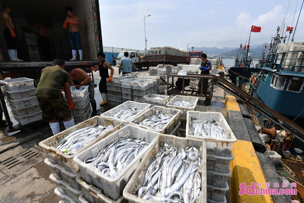 <br/>  渔民在青岛市崂山区中心渔港装运带鱼<br/>
