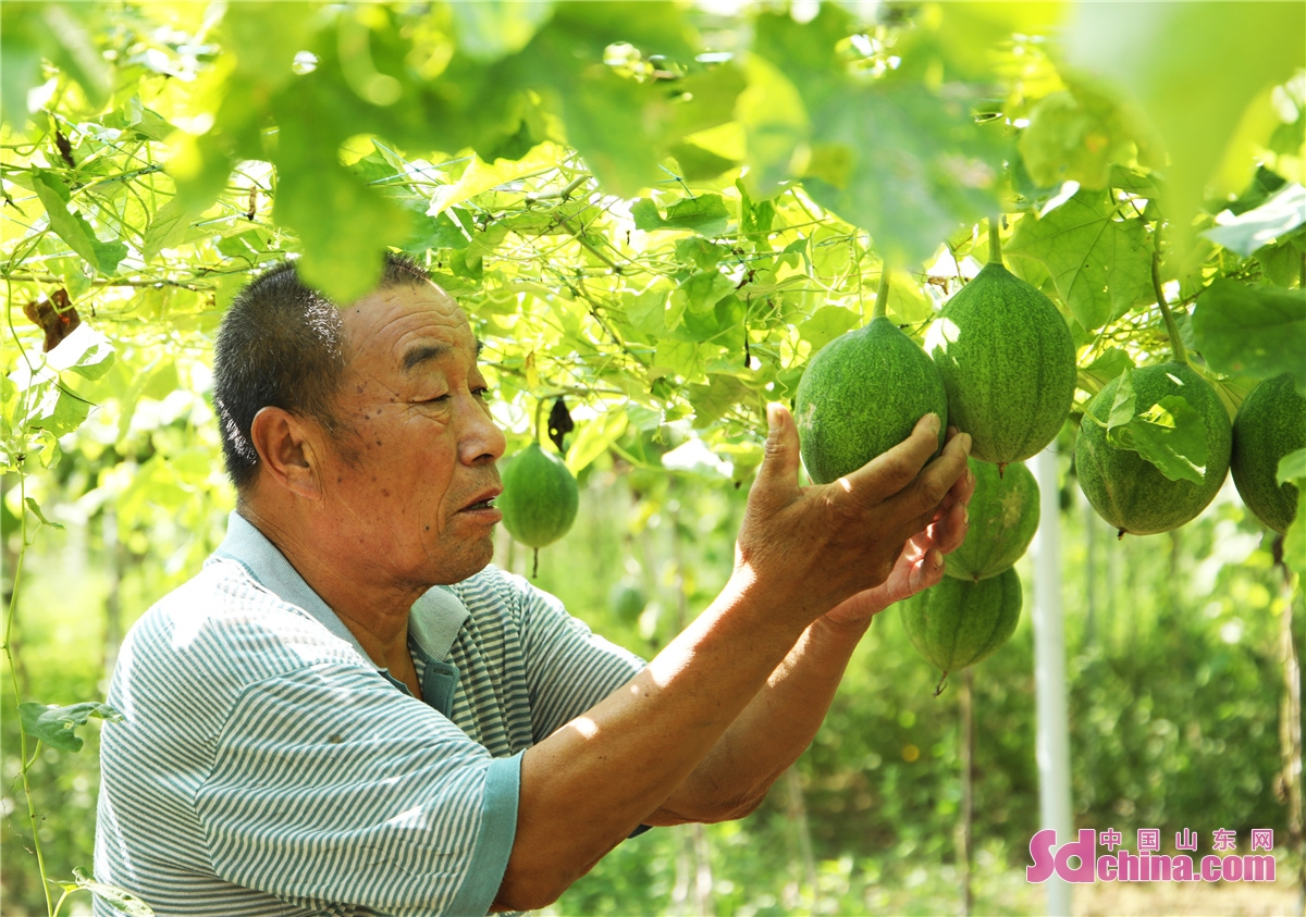 Farmers in Sun Town, Zouping City, East China's Shandong Province, greet the harvest season of chrysanthemums, akegourd fruits and honeysuckle.
