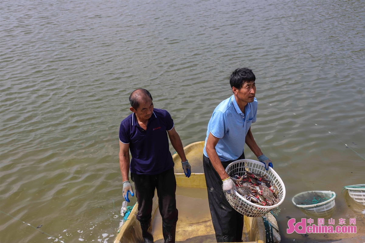Farmers harvest crabs at a shrimp and crab breeding base in Erhe Village in the West Coast New Area of Qingdao, East China's Shandong Province, Sept. 9, 2021. Shrimp and crab have become a pillar industry of the village during rural revitalization. Up to now, the village has an area of 1,800 mus of shrimp and crap breeding ponds.<br/>