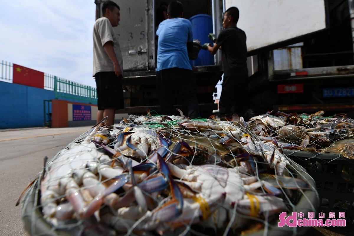 개어 시절, 칭다오 라오산 어항에서 수확한 절정기에 들어간다. 다양한 해물,생산이 부두에서 낭동차량에 적재해서 각각 시의 시장까지 운송할 것이다.<br/>