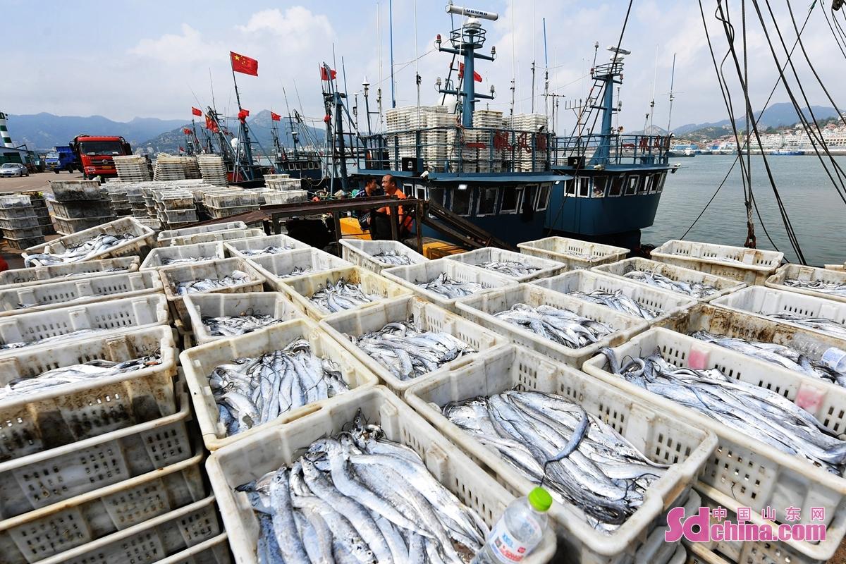 개어 시절, 칭다오 라오산 어항에서 수확한 절정기에 들어간다. 다양한 해물,생산이 부두에서 낭동차량에 적재해서 각각 시의 시장까지 운송할 것이다.