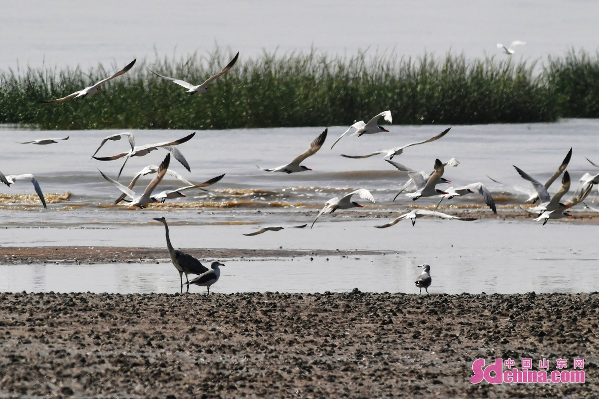 <br/>  在青岛市城阳区河套湿地滩涂觅食的红嘴巨鸥<br/>