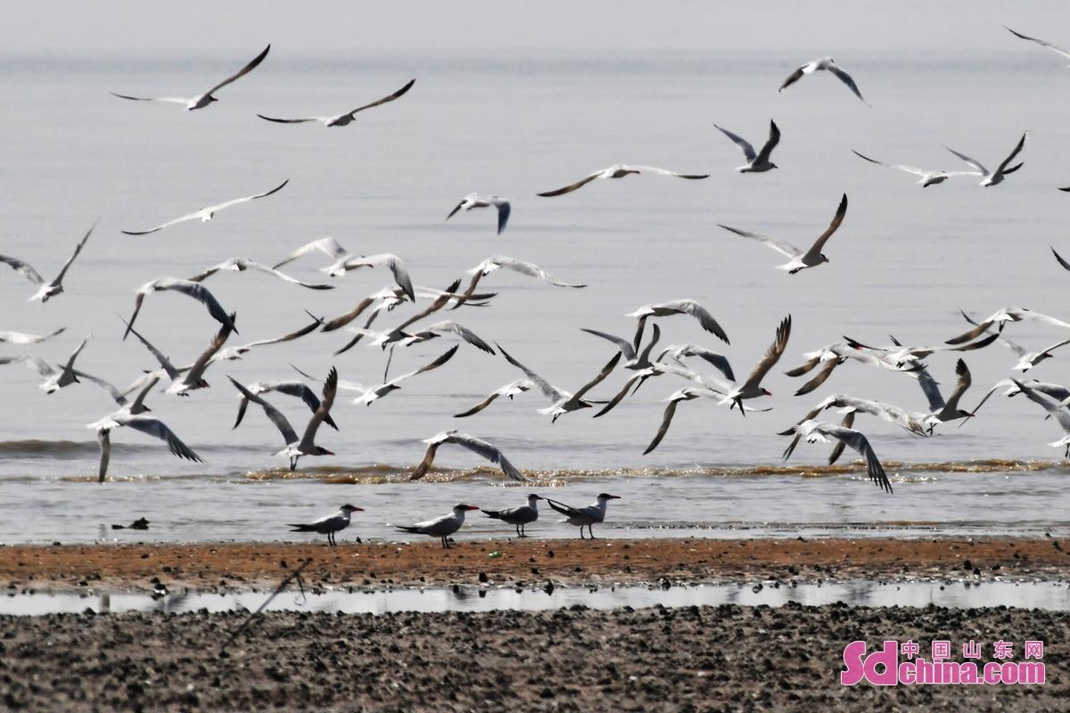 <br/>  成群红嘴巨鸥在青岛市城阳区河套湿地滩涂上巡游<br/>