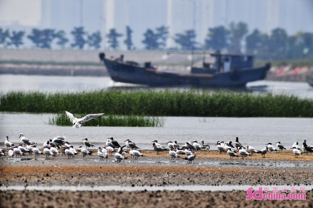 <br/>  一艘渔船在青岛市城阳区河套湿地滩涂栖息的红嘴巨鸥鸟群旁经过<br/>