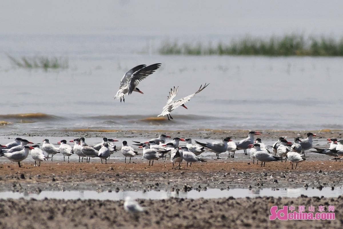 <br/>  近日,约有200余只红嘴巨鸥飞抵山东省青岛市城阳区河套湿地觅食栖息,准备在此越冬。据了解,从2011年秋季青岛记录第一只红嘴巨鸥以来,这是出现数量最多的一次。近年来,随着当地加强沿海湿地保护力度,越冬候鸟种群数量已逐年增加。<br/>