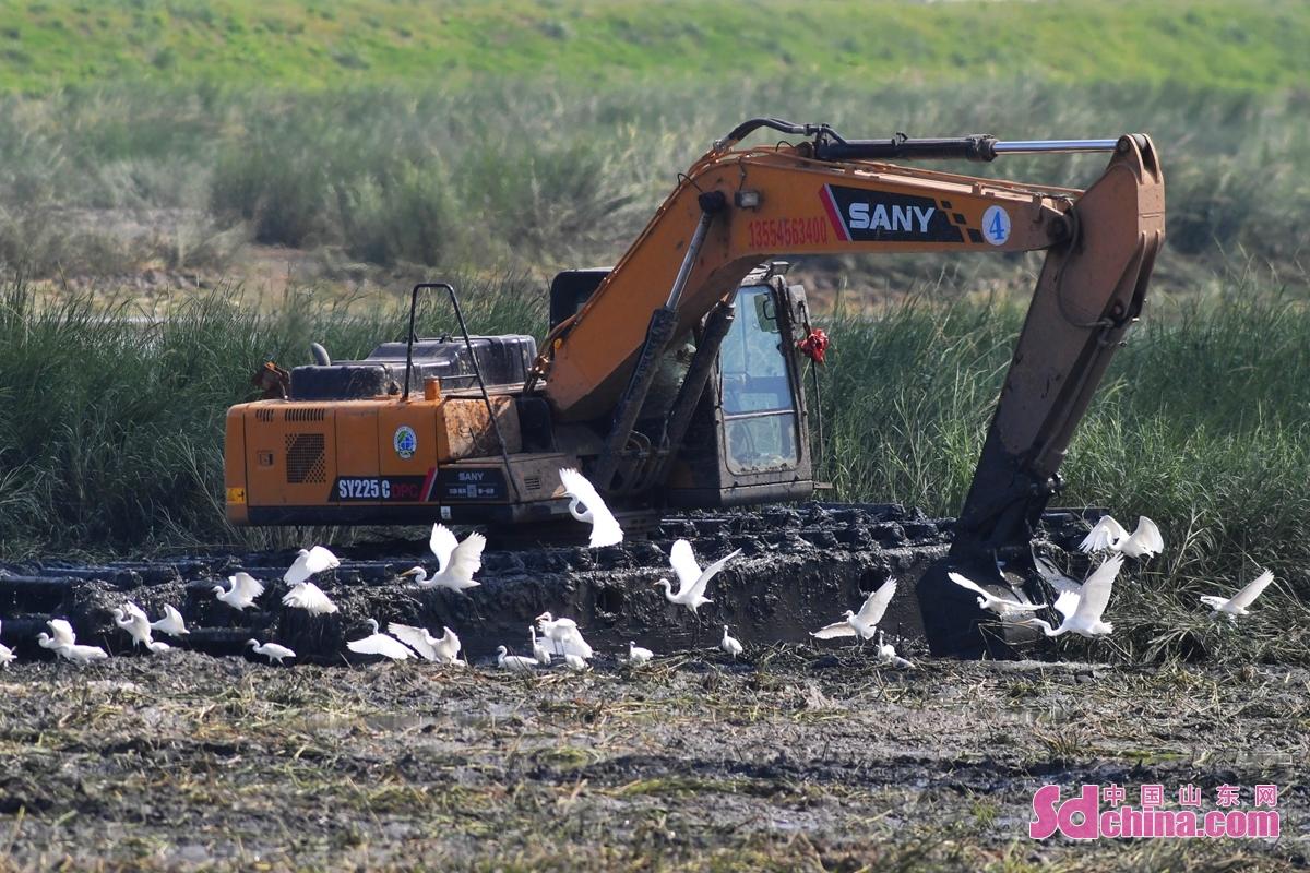 <br/>  在青岛市城阳区墨水河入海口湿地,一台挖掘机正在清理影响候鸟栖息的互花米草。