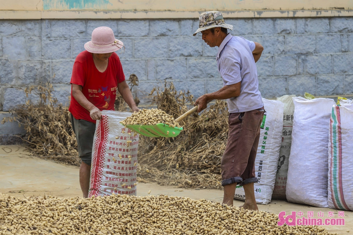 Photo taken on Sept. 17 shows a busy harvest picture in Baoshan Town in Qingdao, China&rsquo;s Shandong province. As the autumn harvest season begins, the farmers are busy reaping peanuts, drying corns and picking apples.   <br/>