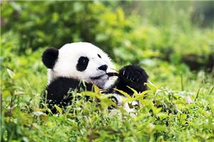 关注旅日大熊猫回国