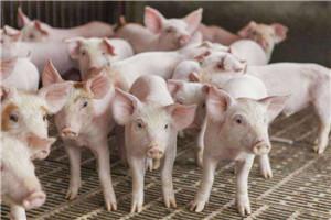 关注生猪生产 生猪代养 给大小养殖场户带来双赢