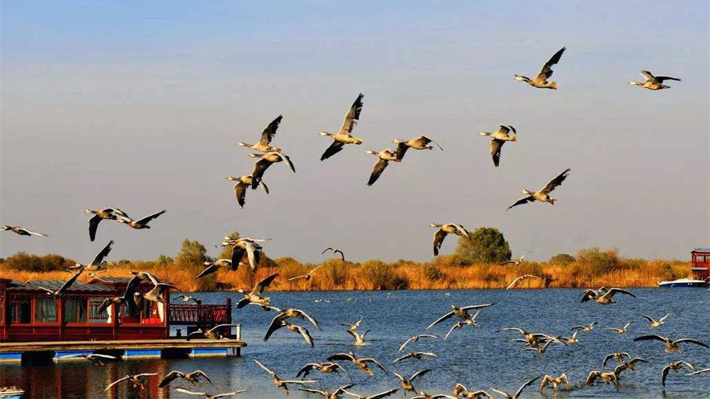 山东东营 黄河三角洲迎来大批迁徙候鸟