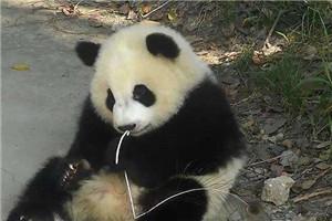 """探访""""大熊猫村"""" 一家三代守护国宝"""