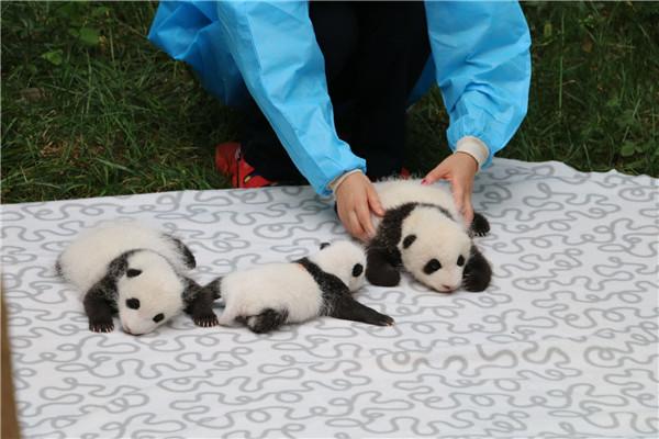 大熊猫繁育研究基地 三只大熊猫宝宝初长成