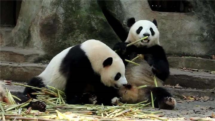 龙凤胎大熊猫满周岁 活泼好动萌态十足